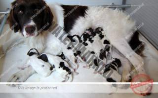 Balou met pups 2 dagen oud