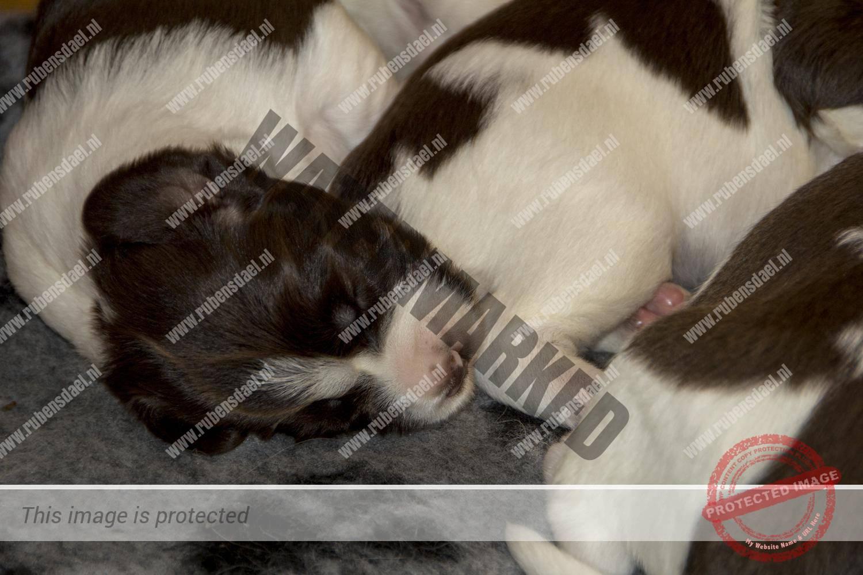 Pups Geoff x Jessie 2 weken oud