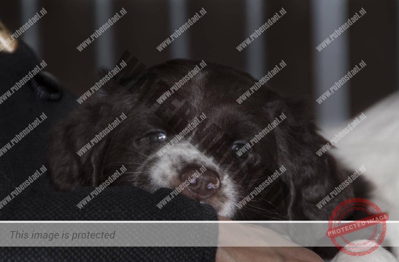 Pups Geoff x Jessie 6 weken oud
