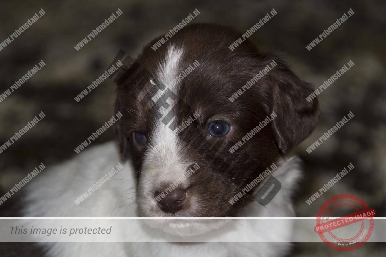 Pups Geoff x Femke 4 weken oud